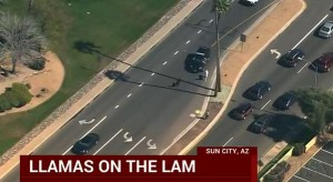 Lamas en fuite en Arizona